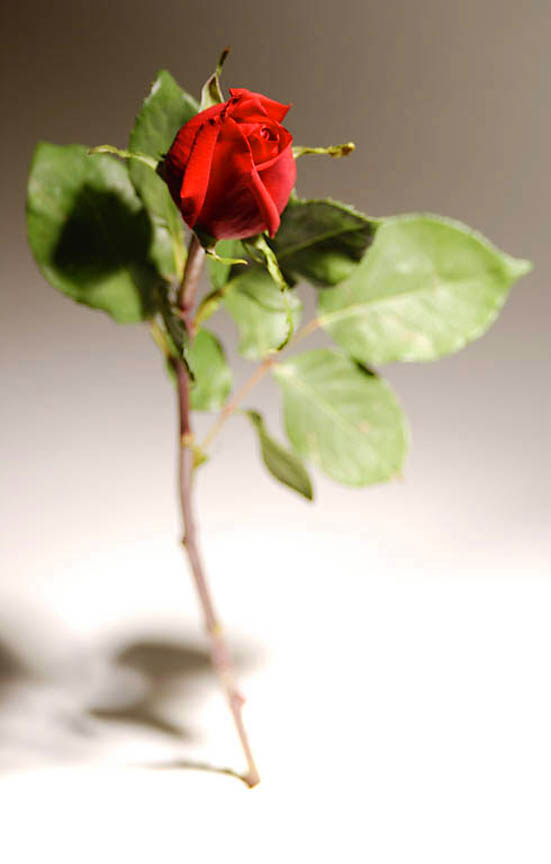 imagenes de amor long stem red rose photo 1