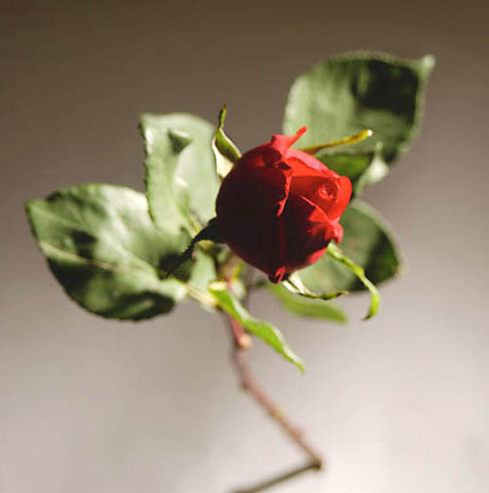 imagenes de amor long stem red rose photo