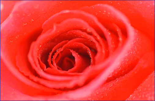 making love erotic picture red rose